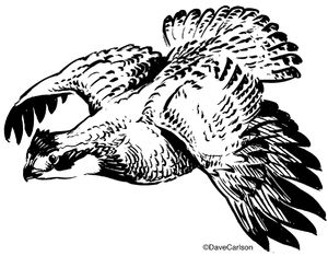 B&W, ink illustration, drawing, flying, bobwhite quail, bobwhite, bird