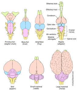 illustration, comparative evolution, vertebrate brains, brain