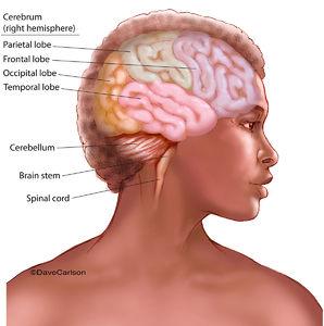 brain, brain stem, brainstem, cerebellum, cerebrum, right hemisphere, parietal lobe, frontal lobe, occipital lobe, temporal lobe, spinal cord