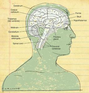 Poster style, illustration, midsagittal, anatomy, human brain