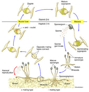 Illustration, structure, life cycle, bread mold fungus