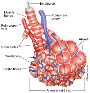 Illustration of lung bronchioles, alveoli, blood vessels and associated structures
