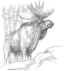 B&W, pencil drawing, North American bull moose, bull moose, moose,  largest member deer family