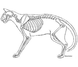 B&W line illustration, feline skeleton, cat skeleton