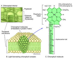illustration, chlorophyll complex, thylakoid membrane, chemical structure of chlorophyll molecule, molecular structure