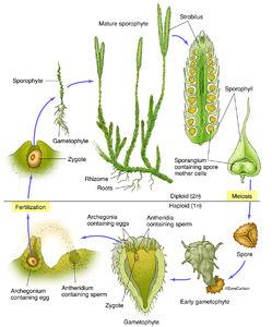 Illustration, Lycopodium, genus of clubmosses, ground pines, creeping cedar, structure, life cycle