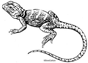 B&W, ink, drawing, illustration, eastern collared lizard, common collared lizard, Oklahoma collared lizard