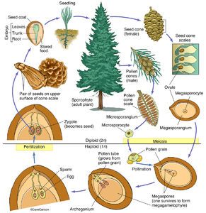 Illustration, life cycle, structure, conifer, pine tree