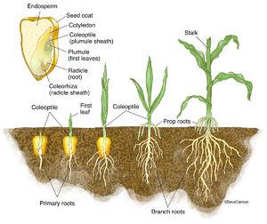 illustration, germination, corn plant, monocot