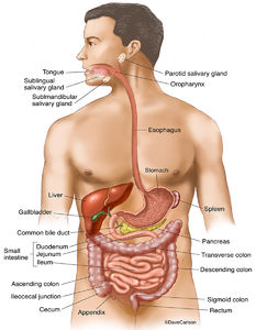 illustration, gastrointestinal organs, digestive tract, human body, G.I. tract