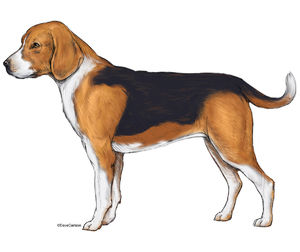 illustration, lateral view, beagle, dog