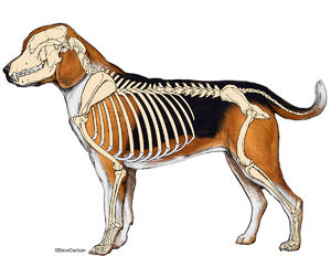 dog, canine, skeleton, lateral view