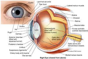 Eye Anatomy 2 Illustration