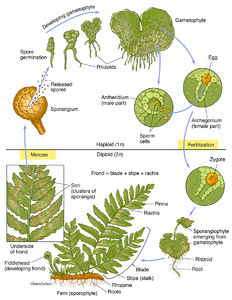 Ferns, vascular plants, reproduce via spores, have neither seeds nor flowers