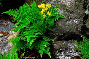 Golden Banner, wildflower, Bracken Fern, Fern Lake Trail, Rocky Mountain National Park