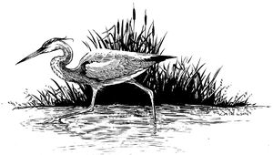 B&W, ink, drawing, great blue heron, heron, bird, stalking, wetland