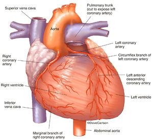coronary arteries, anterior heart, heart, frontside, illustration, left coronary artery, right coronary artery, circumflex branch of left coronary artery, anterior descending coronary artery, marginal