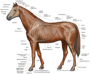 Horse / Equine - Lateral Skeleton - Color