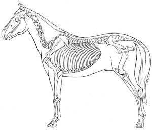 B&W line illustration, lateral view, horse skeleton