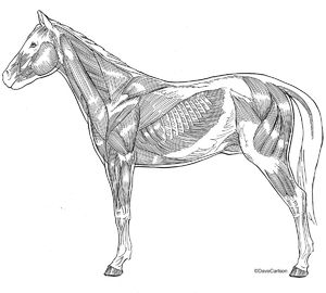 Illustration, lateral view, superficial, horse, equine, musculature, muscles