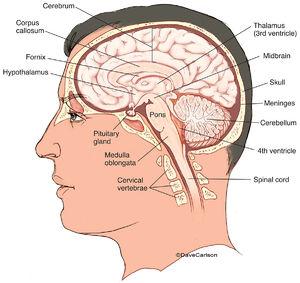 human brain, brain, midsagittal, cerebrum, cerebellum, brainstem, brain stem,  structures, illustration
