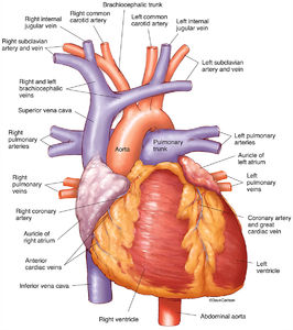 human heart, anterior, illustration, frontside, heart, major vessels