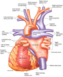 human, heart, major vessels, posterior, back, view, illustration