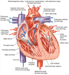 human, heart, interior, coronal section, arterial, venous, blood flow, front view, illustration