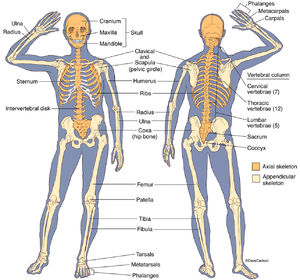 Skeletal system human anatomy life science biomedical human skeleton front back ccuart Choice Image