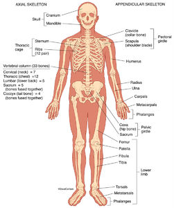 illustration, human skeleton, front view, anterior, skeletal, structure