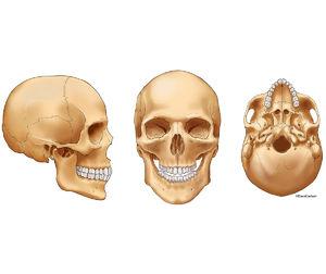 illustration, three views, human skull, lateral, anterior, inferior