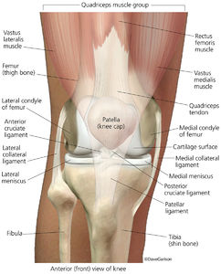 illustration, knee joint, structures of the knee joint, bones, ligaments, menisci, quadriceps muscles