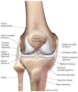 Illustration, bones, ligaments, cartilage, menisci, right knee, front view