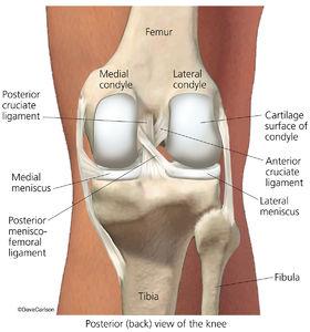 illustration, posterior view, knee joint, bones, ligaments, menisci.