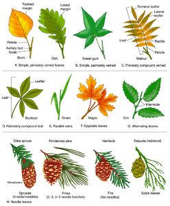 illustration, types of leaves, leaf morphology, leaf forms, leaf types