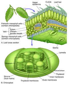 Leaf & Chloroplast Structure