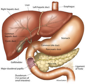 Illustration, anatomic relationship, liver, stomach, pancreas, gallbladder, duodenum