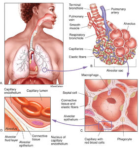 illustration, alveoli, blood vessels, lung tissue, structure