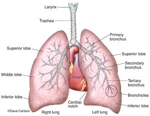 illustration, lungs and associated structures, lungs, trachea, bronchi