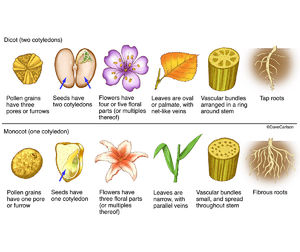 illustration comparing monocot one cotyledon and dicot two cotyledons plants