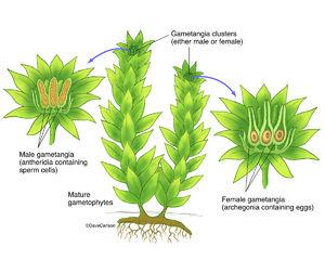 illustration, bryophyte, moss structure