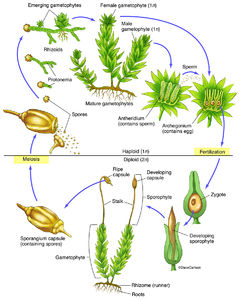 illustration, moss bryophyte life cycle
