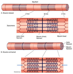 illustration, physiology of muscle contraction