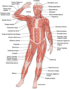 illustration, anterior superficial muscles, human body, front view