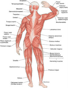 illustration, posterior superficial muscles, human body, back view