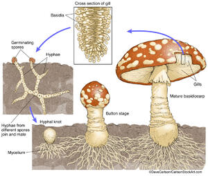illustration, structure, life cycle, mushroom, fungus