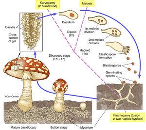illustration, structure, life cycle, mushroom, fungus