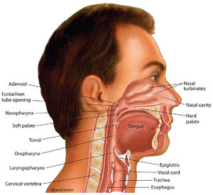 illustration, nasal cavities, oral cavities,  laryngeal cavities