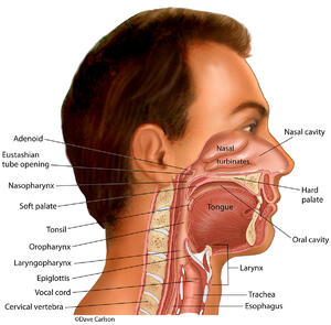 Digestive & Respiratory Structures of the Head & Neck