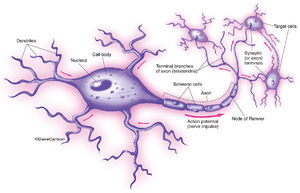 illustration, structure, function, nerve cell, motor neuron
